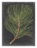 Dramatic Pine III Giclee Print by Vision Studio