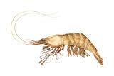 Pink-Grooved Shrimp (Peneus Duorarum), Crustaceans Poster von  Encyclopaedia Britannica