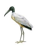 Wood Ibis (Mycteria Americana), Birds Affiches par  Encyclopaedia Britannica