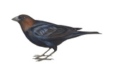 Brown-Headed Cowbird (Molothrus Ater), Birds Poster par  Encyclopaedia Britannica