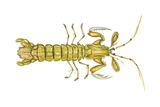 Mantis Shrimp (Squilla Empusa), Crustaceans Foto von  Encyclopaedia Britannica
