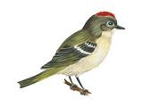Ruby-Crowned Kinglet (Regulus Calendula), Bird Affiche par  Encyclopaedia Britannica