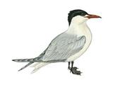Caspian Tern (Hydroprogne Caspia), Birds Posters par  Encyclopaedia Britannica
