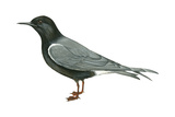 Black Tern (Chlidonias Niger Surinamensis), Birds Affiches par  Encyclopaedia Britannica