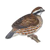 Bobwhite (Colinus Virginianus), Birds Affiches par  Encyclopaedia Britannica