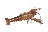 Crayfish (Cambarus Bartonii), Crustaceans Plakater af  Encyclopaedia Britannica