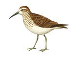 Western Sandpiper (Calidris Mauri), Birds Posters par  Encyclopaedia Britannica