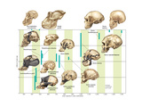 The Increase in Hominid Cranial Capacity over Time. Evolution Pôsters por  Encyclopaedia Britannica