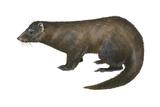 American Mink (Neovison Vison), Weasel, Mammals Póster por  Encyclopaedia Britannica