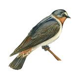 Cliff Swallow (Petrochelidon Pyrrhonota), Birds Affiches par  Encyclopaedia Britannica