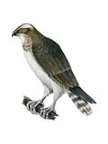 Osprey (Pandion Haliaetus), Fish Hawk, Birds Affiches par  Encyclopaedia Britannica