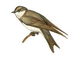 Bank Swallow (Riparia Riparia), Martin, Birds Posters par  Encyclopaedia Britannica