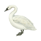 Trumpeter Swan (Cygnus Cygnus Buccinator), Birds Print van  Encyclopaedia Britannica