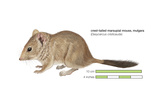 Crest-Tailed Marsupial Mouse (Dasycercus Cristicauda), Mulgara, Mammals Pósters por  Encyclopaedia Britannica