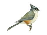 Tufted Titmouse (Parus Bicolor), Birds Posters par  Encyclopaedia Britannica