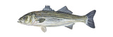 Striped Bass (Roccus Saxatilis), Fishes Posters por  Encyclopaedia Britannica