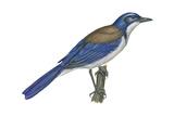 California Scrub Jay (Aphelocoma Californica), Birds Affiches par  Encyclopaedia Britannica