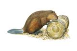 Beaver Gnawing on Log. (Castor Canadensis), Mammals Posters af  Encyclopaedia Britannica