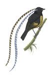 King of Saxony's Bird-Of-Paradise (Pteridophora Alberti), Birds Photographie par  Encyclopaedia Britannica
