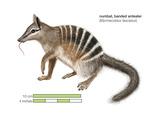 Numbat (Myrmecobius Fasciatus), Banded Anteater, Marsupial, Mammals Reproducción de lámina sobre lienzo por  Encyclopaedia Britannica
