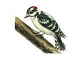Downy Woodpecker (Dendrocopus Pubescens), Birds Affiches par  Encyclopaedia Britannica