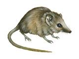 Flat-Skulled Marsupial Mouse (Planigale), Marsupial, Mammals Láminas por  Encyclopaedia Britannica