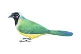 Green Jay (Cyanocorax Yncas), Birds Posters par  Encyclopaedia Britannica