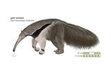 Giant Anteater (Myrmecophaga Tridactyla), Mammals Fotografía por  Encyclopaedia Britannica