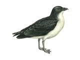 Diving Petrel (Pelecanoides Urinatrix), Birds Posters par  Encyclopaedia Britannica