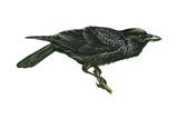 Common Raven (Corvus Corax), Birds Affiches par  Encyclopaedia Britannica