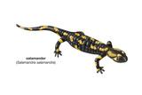 Salamander (Salamandra Salamandra), Amphibians Prints by  Encyclopaedia Britannica