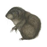 Mountain Beaver (Aplodontia Rufa), Mammals Posters af  Encyclopaedia Britannica