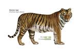 Siberian Tiger (Panthera Tigris Altaica), Cat, Mammals Plakater af  Encyclopaedia Britannica