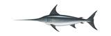 Swordfish (Xiphias Gladius), Fishes Prints by  Encyclopaedia Britannica