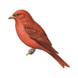 Summer Tanager (Piranga Rubra), Birds Affiches par  Encyclopaedia Britannica