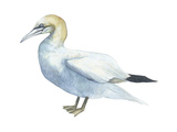 Northern Gannet (Morus Bassanus), Birds Posters par  Encyclopaedia Britannica