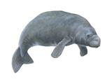 Dugong (Dugong Dugon), Mammals Prints by  Encyclopaedia Britannica