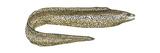 Moray (Gymnothorax Moringa), Fishes Láminas por  Encyclopaedia Britannica