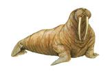 Walrus (Odobenus Rosmarus), Mammals Poster von  Encyclopaedia Britannica