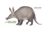 Aardvark or Antbear (Orycteropus Afer), Mammals Láminas por  Encyclopaedia Britannica