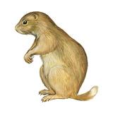 White-Tailed Prairie Dog (Cynomys Gunnisoni), Mammals Prints by  Encyclopaedia Britannica