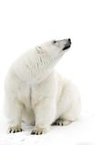 A Polar Bear in the White of the Frozen Arctic Ocean, Svalbard, Norway Impressão fotográfica por  ClickAlps