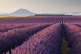 Valensole Plateau, Provence, France. Flowering Lavender at Dawn. Photographic Print by  ClickAlps