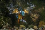 Kingfisher Hunting a Fish Underwater Impressão fotográfica por  ClickAlps