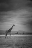Amboseli Park,Kenya,Italy a Giraffe Shot in the Park Amboseli, Kenya, Shortly before a Thunderstorm Fotografisk tryk af  ClickAlps