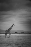 Amboseli Park,Kenya,Italy a Giraffe Shot in the Park Amboseli, Kenya, Shortly before a Thunderstorm Fotografie-Druck von  ClickAlps