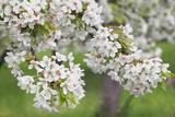 Blossoming Cherry Tree (Prunus Avium), Baden Wurttemberg, Germany, Europe Valokuvavedos tekijänä Markus Lange
