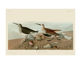 Red Backed Sandpiper Poster von John James Audubon