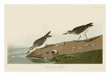 Semipalmated Sandpiper Láminas por John James Audubon
