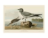 Fork-Tailed Gull ポスター : ジョン・ジェームス・オーデュボン